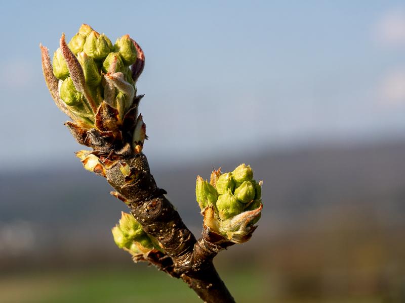 Blütenansatz Birne Nashi Nijisseiki