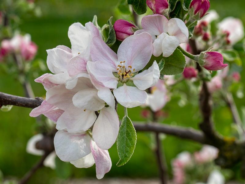 Blüte Apfel Regia