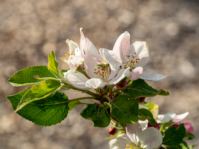 Blüte Apfel Topaz rot
