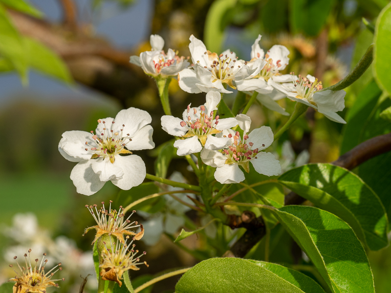 Birnenblüte Herzogin Elsa
