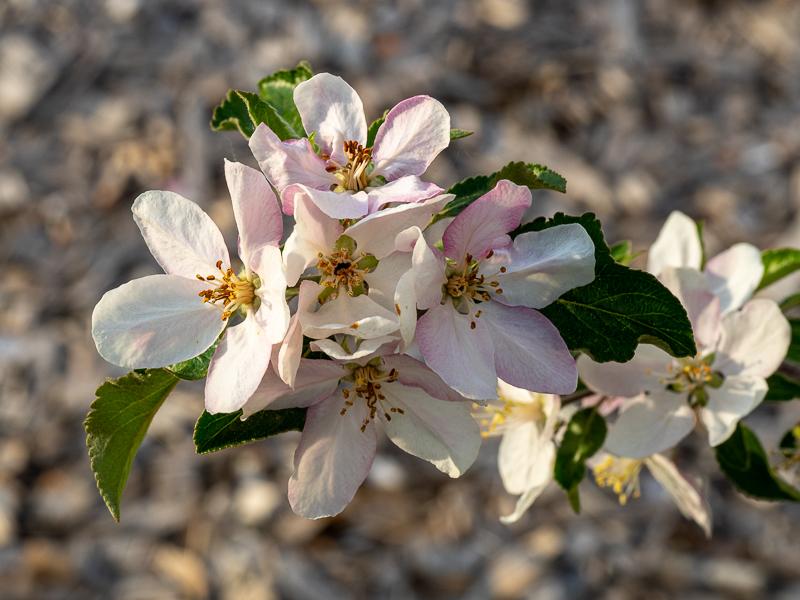 Blüte Apfel Karneval