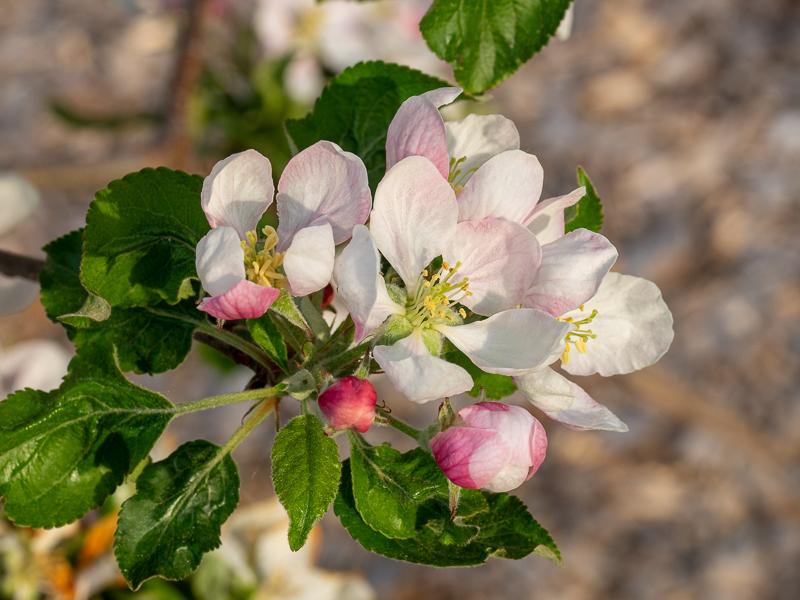 Blüte Apfel Gala Galaxy