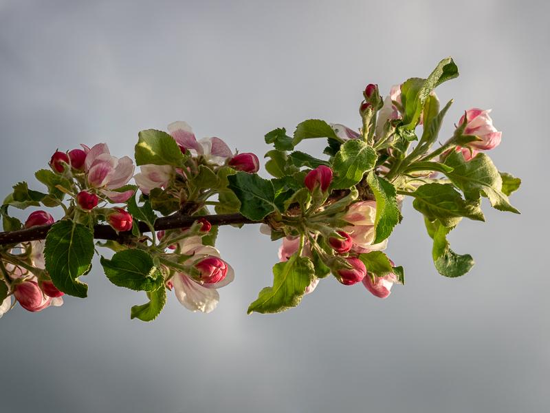 Blüte Apfel Jonagold